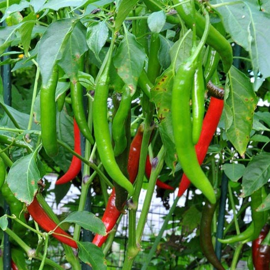 Long Chilli Seeds